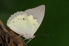 Helcyra superba/male/butterfly Royalty Free Stock Photos