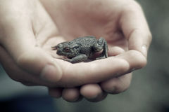 Held carefully. A small young toad is cradled carefully in child's hands Stock Photo