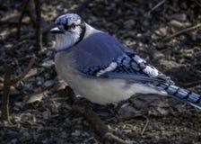 Helder Blauw Jay Facing Left stock foto's