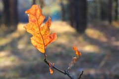 Helder de herfst eiken blad Stock Afbeeldingen