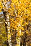 Helder de herfstgebladerte van een berkboom Stock Afbeeldingen