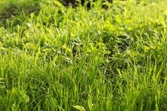 Helder de lentegras in daglicht Stock Afbeeldingen