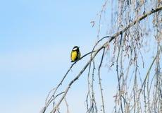 helder die zit weinig vogelmees op berktakken met pluizige rijp en sneeuw in een ijzig de winterpark worden behandeld stock afbeelding