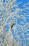 Helder die zit weinig vogelmees op boomtakken met pluizige rijp en sneeuw in een de winter ijzig park tegen worden behandeld royalty-vrije stock fotografie