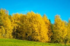 Helder geel de herfstbos Royalty-vrije Stock Afbeeldingen