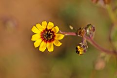 Helder geel en rood madeliefje wildflower stock foto's