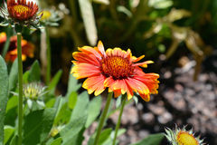Helder Gekleurde Blanketflower in Bloei Royalty-vrije Stock Foto