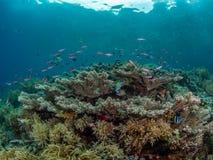 Helder gekleurde tropische koraalachtergrond Misool, Raja Ampat, Indonesi? royalty-vrije stock afbeeldingen