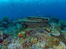 Helder gekleurde tropische koraalachtergrond Misool, Raja Ampat, Indonesi? stock afbeelding