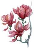 Helder geschilderde tak van magnoliabloemen op een witte achtergrond Royalty-vrije Stock Afbeelding