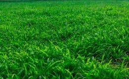 Helder gras Stock Afbeelding