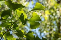 Helder groene gesneden bladeren van Ginkgo-bilobaclose-up in zachte nadruk tegen een achtergrond van onscherp gebladerte royalty-vrije stock afbeelding
