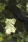 Helder mineraal in vulkanische steen Stock Fotografie
