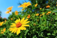Helder mooie gele camomiles Stock Fotografie
