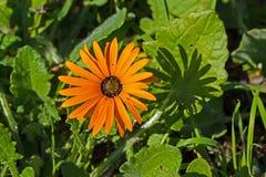 Helder oranje madeliefje wildflower royalty-vrije stock afbeeldingen