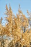 Helder riet die met licht door gele bladeren glanzen Royalty-vrije Stock Foto's