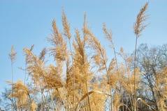 Helder riet die met licht door gele bladeren op blu glanzen Stock Afbeeldingen