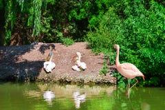 Helder roze flamingo's en pelikanenpaar Royalty-vrije Stock Foto