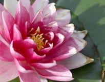 Helder roze met stroomversnellinglelie het groeien in het meer Stock Foto's