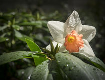 Helder Sunny Daffodil stock afbeelding