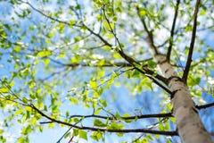 Helder vers berkgebladerte in zonlicht Op Mening stock afbeelding