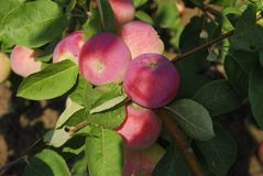 Heldere appelen Stock Foto