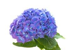 Heldere blauw-lilac hydrangea hortensia Royalty-vrije Stock Afbeeldingen