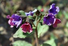 Heldere blauwe bloemen lungwort Stock Fotografie