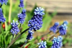 Heldere blauwe bloemen Muscari Stock Foto