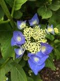 Heldere blauwe hydrangea hortensia Royalty-vrije Stock Foto's