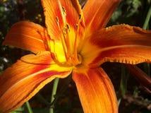 Heldere bloeiende oranje lelie in de tuin stock afbeelding