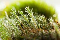 Heldere dalingen op mos stock afbeelding