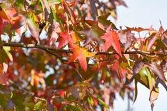 Heldere de boom (Liquidambar styraciflua) bladeren trillende van kleurensweetgum Royalty-vrije Stock Afbeeldingen