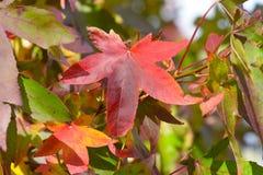 Heldere de boom (Liquidambar styraciflua) bladeren trillende van kleurensweetgum Royalty-vrije Stock Fotografie