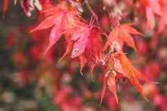 Heldere de herfstachtergrond met rode Japanse mapple stock foto