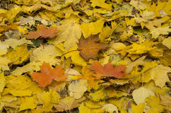 Heldere de herfstbladeren Stock Afbeelding