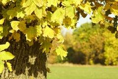 Heldere de herfstbladeren op de boomtakken met zijn boom zelf stock foto