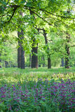 Heldere de lenteochtend in Eiken Bos stock fotografie