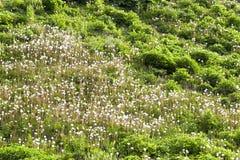 Heldere de lentepaardebloemen Stock Afbeelding