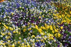 Heldere en kleurrijke pansies en altviolen in het bloembed Stock Foto's