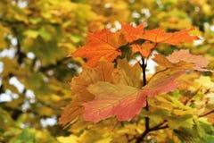 Heldere esdoornbladeren in de herfst in het Park Royalty-vrije Stock Foto