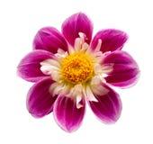 Heldere geïsoleerde bloem stock foto's