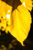 Heldere gekleurde bladeren op een boom Royalty-vrije Stock Foto's