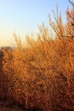 Heldere gele bloeiende kornoelje in de lente tegen de achtergrond van de bergen royalty-vrije stock foto