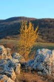 Heldere gele bloeiende kornoelje in de lente tegen de achtergrond van de bergen stock afbeeldingen