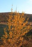 Heldere gele bloeiende kornoelje in de lente tegen de achtergrond van de bergen royalty-vrije stock afbeelding