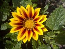Heldere gele bloem Royalty-vrije Stock Foto