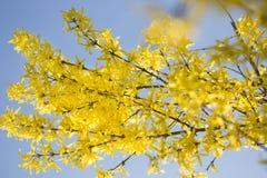 Heldere, gele bloemen van Forsythia in de lente Stock Foto