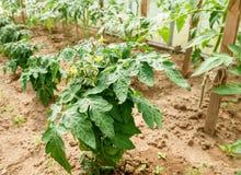 Heldere gele bloemen van tomaten in de zomer royalty-vrije stock fotografie
