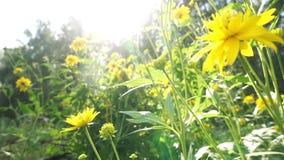 Heldere gele bloemenschommeling in de wind stock videobeelden